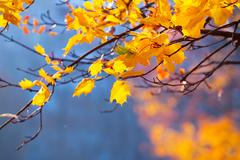 Gold leaves on the branches of a maple Stock Photos