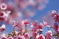 Cherry blossom, sakura flowers Stock Photos