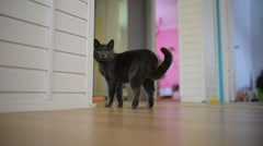 Curious grey house cat looks at camera Stock Footage