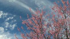 Cherry blossom, sakura flowers with movement cloud Stock Footage