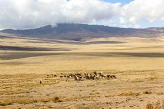 Maasai herding cattle in Ngorongoro - stock photo
