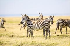 Zebras standing at the vast plains in Serengeti Stock Photos