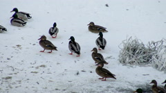 Flock of ducks in winter.  Wild birds in the ice. Stock Footage