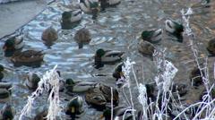 Wild birds in the ice. Frozen birds. Stock Footage