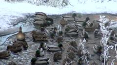 Ducks in the ice of winter. Frozen birds in 4K Video. Stock Footage