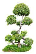 Ebony ( Diospyros rhodocalyx Kurz ) ( EBENACEAE ) on isolated background Stock Photos