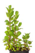 peppermint in a pot - stock photo