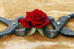 blooming red rose clutched in forceps, abstract background - stock photo
