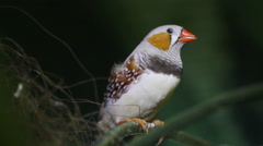 Chestnut Flanked White (CFW) Zebra Finch on The Branch Stock Footage