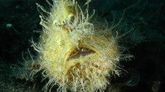 Hairy Frogfish Turning Around - stock footage