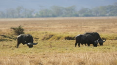 Large african buffalo eat grass Stock Footage