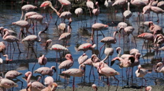 Large amount of flamingos in Africa Stock Footage