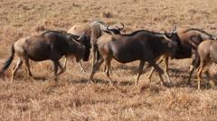 Herds of wildebeests in Ngorongoro Stock Footage
