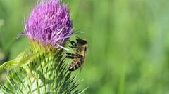 Bee on a thistle flower. Stock Footage