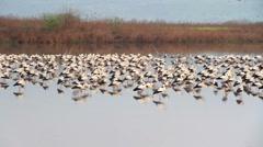White Storks flock roosting Stock Footage