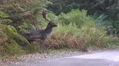 A fallow deer buck stands at the forest edge, then crosses the road - 4K Stock Footage