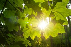 Sunbeams breaking through clouds and light up maple leaves - stock photo