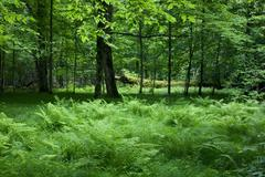 Stock Photo of Shady deciduous stand of Bialowieza Forest in springtime
