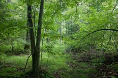 Natural deciduous stand of Bialowieza Forest Stock Photos