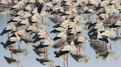 White Storks colony roosting Stock Footage