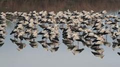 White Storks flock roosting in hula valley - stock footage