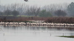 White Storks colony roosting in hula valley Stock Footage