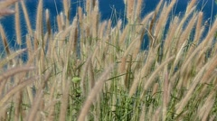 Broom grass flower and the sea background - stock footage