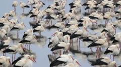 White Storks flock roosting in israel - stock footage