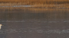 Group of Cranes Pause in Wading Through Marsh - stock footage