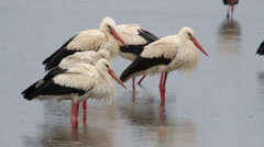 White Storks colony in hula valley Stock Footage