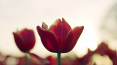 Close up pink and red tulip flowers against the sunset, with lens flare Stock Footage