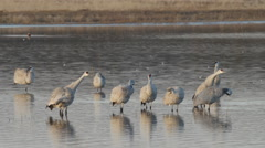 Cranes in Pond Flap Wings and Take Off Stock Footage
