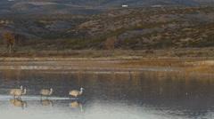 Group of Cranes Walking Across Marsh - Medium Stock Footage