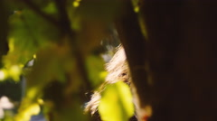 Beautiful girl peeking out from behind the leaves of a tree in an orchard - stock footage