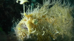 Hairy Frogfish Angling - stock footage