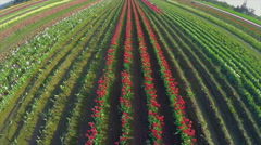 Aerial view of young blonde woman walking in a field of tulips in bloom Stock Footage