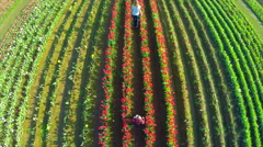 Aerial view of children walking in a field of tulips in bloom Stock Footage