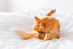 Ginger cat licking, lying on the bed. Cute cozy background, morning bedtime a - stock photo