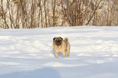 Pug dog on white snow Kuvituskuvat