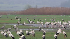 White Storks flock roosting in the rain - stock footage