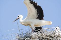 White Stork Couple in their Nest - stock photo