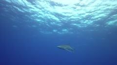 Blue shark swims towards camera in blue water Stock Footage