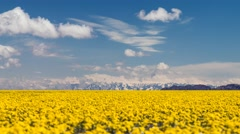 Yellow flowers in the steppes of Kazakhstan Stock Footage