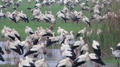 White Storks roosting in hula valley Stock Footage