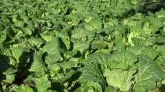 Field of Chinese cabbage (Brassica rapa subsp. pekinensis) at a farm. - stock footage