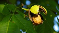 Walnut tree and nut Stock Footage