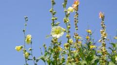 Hollyhock flower in summer Stock Footage