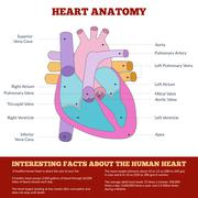 Diagram of human heart anatomy Stock Illustration
