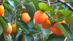 Ripe Oriental Persimmon fruit on the tree (Diospyros kaki). South Korea Stock Footage