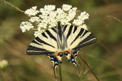 Macro of Scarce Swallowtail butterfly (Iphiclides podalirius) seen from above - stock photo